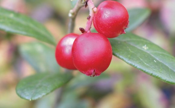 Types of Wild, Red Berries